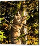 Bobcat up a tree Canvas Print