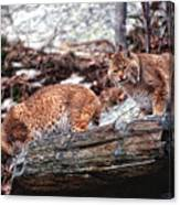 Bobcats On The Loose Canvas Print