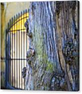 Boboli Garden Ancient Tree Canvas Print