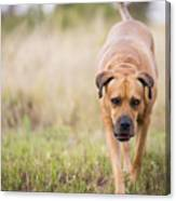 Boerboel Dog Canvas Print