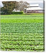 Bok Choy Field And Farm Canvas Print