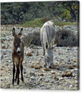 Bonaire Wild Donkeys 2 Canvas Print