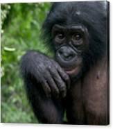 Bonobo Pan Paniscus Juvenile Orphan Canvas Print