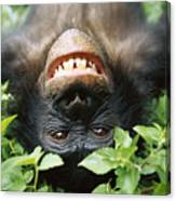 Bonobo Smiling Canvas Print