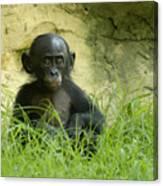 Bonobo Tyke Canvas Print