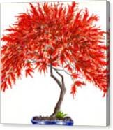 Bonsai Tree - Inaba Shidare Canvas Print