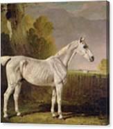 Bony Grey Nag Canvas Print