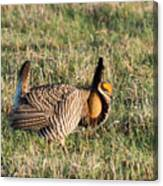 Booming Greater Prairie Chicken 5 Canvas Print