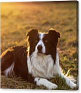 Border Collie At Sunset With Warm Colors Canvas Print