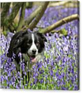 Border Collie In Bluebells Uk Canvas Print