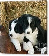 Border Collie Puppies Canvas Print