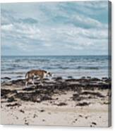 Borzoi Dog Stalking Alnmouth Beach Canvas Print