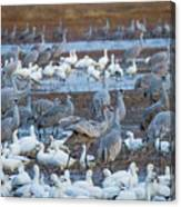 Bosque Cranes And Geese Canvas Print