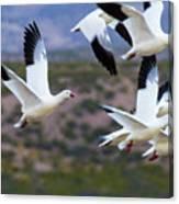 Bosque Snow Geese Flyover Canvas Print