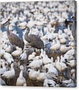 Bosque Waterfowl Mix Canvas Print