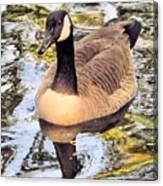Boston Public Garden Goose Canvas Print