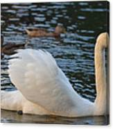 Boston Public Garden Swan Amongst The Ducks Ruffled Feathers Canvas Print