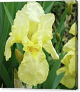 Botanical Yellow Iris Flower Summer Floral Art Baslee Troutman Canvas Print