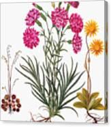 Botany: Flowers, 1613 Canvas Print