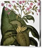 Botany: Tobacco Plant Canvas Print