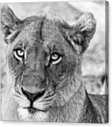 Botswana  Lioness In Black And White Canvas Print