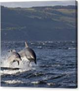 Bottlenose Dolphins Leaping - Scotland  #37 Canvas Print