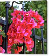 Bougainvillea On Southern Fence Canvas Print