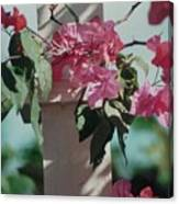 Bouganvillea Canvas Print