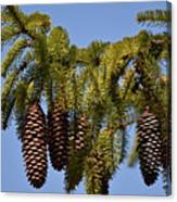 Boughs Of Pine Cones Canvas Print