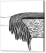 Bowmans Membrane, Retinal Layers, 1842 Canvas Print