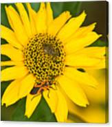 Box Elder Bug On False Sunflower Canvas Print