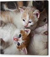 Box Full Of Kittens Canvas Print