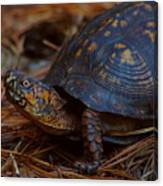 Box Turtle 2 Canvas Print