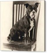 Boxer Sitting On A Chair Canvas Print