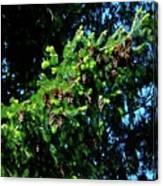 Branch Of Cones Canvas Print