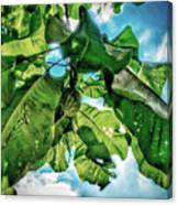 Branch With Green Fruit Canvas Print