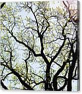 Branches Against Sky In Spring Outback Canvas Print