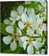 Brandy In Bud On The Pear Tree Canvas Print