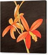 Brazilian Red Laelia-miniature Orchid Canvas Print