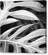 Breadfruit Tree Leaves Canvas Print