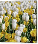 Breathtaking Field Of Blooming Yellow And White Tulips Canvas Print