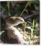 Breswick Wren On Tree Root 2 Canvas Print