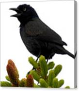Brewer's Blackbird Canvas Print