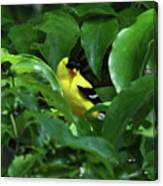 Bright American Goldfinch Canvas Print