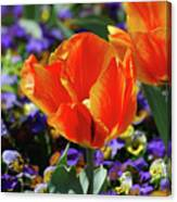 Bright And Colorful Orange And Red Tulip Flowering In A Garden Canvas Print