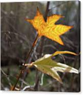 Bright And Sunlit Leaf, Arizona Canvas Print