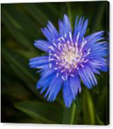 Bright Blue Aster Canvas Print