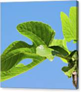 Bright Green Fig Leaf Against The Sky Canvas Print