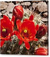 Bright Orange Cactus Blossoms Canvas Print