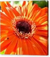 Bright Orange Gerbera  Canvas Print